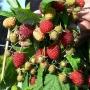 Rubus idaeus 'Polesie'
