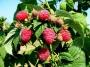 Rubus idaeus 'Rubín'