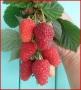 Rubus idaeus 'Sokolica'