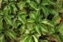 Parthenocissus quinquefolia Engelmanii