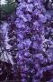 Wisteria floribunda 'Violacea–plena'