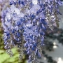 Wisteria floribunda 'Blue Sapphire'
