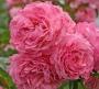 Růže Kolner Flora