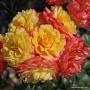 Růže Hoffnung