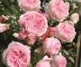 Růže Tantau 'Giardina'