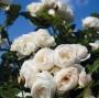 Růže Tantau 'Uetersen Klosterrose'