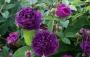 Růže Violette