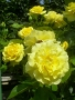 Růže Colibri Farbfestival
