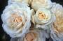 Růže Cream Abundance