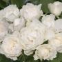 Růže Dr. Watson