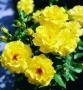 Růže Fresia