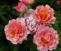 Růže Leo Ferre