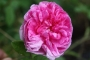 Růže Marie Curie