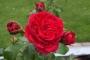 Růže Meiangele Red Leonardo da Vinci