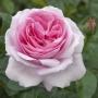 Růže Sweet EUREKA