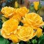 Růže Arthur Bell