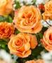 Růže Doris Tystermann