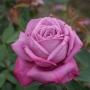 Růže Lila Wunder