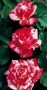 Růže Papagena
