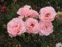 Růže Queen Elizabeth