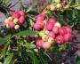 Růžový Borůvkový živ plot