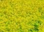 Tavolový živý plot žlutý