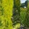 Thuja occidentalis 'Golden Smaragd'